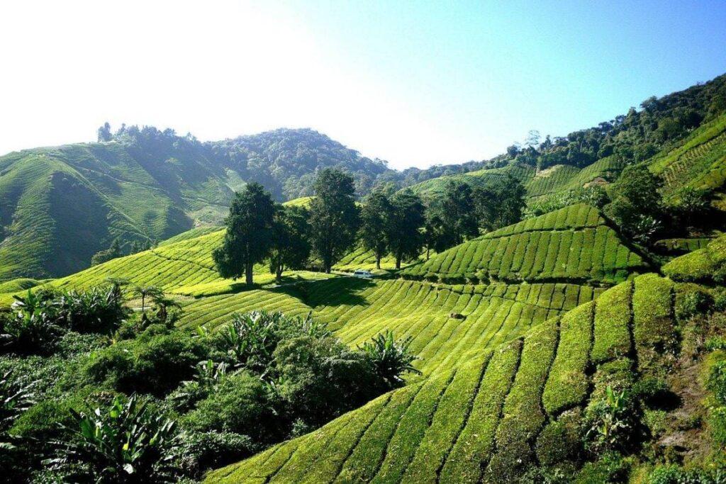 Malaysia Video Production at The Sungai Palas tea plantation,
